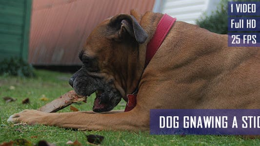 Thumbnail for Dog Gnawing A Bone Stick