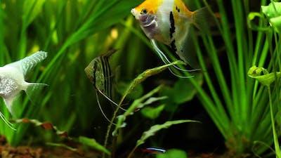 Angelfish Tank