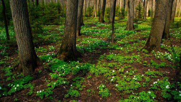 Thumbnail for Spring Wood Landscape With White Flowers Anemones