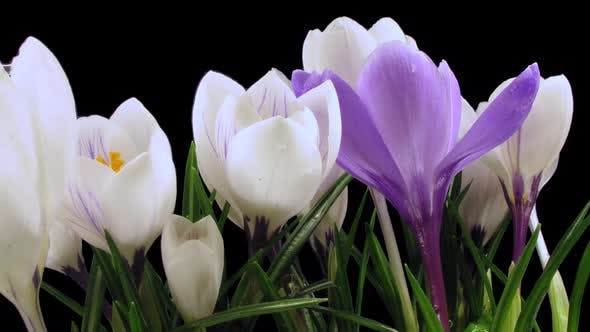Thumbnail for Time-lapse of growing multicolor crocus