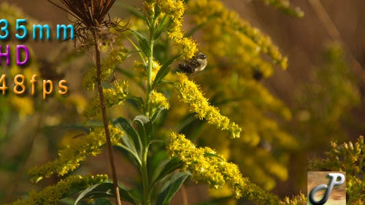 Thumbnail for Bee On Goldenrod Flower