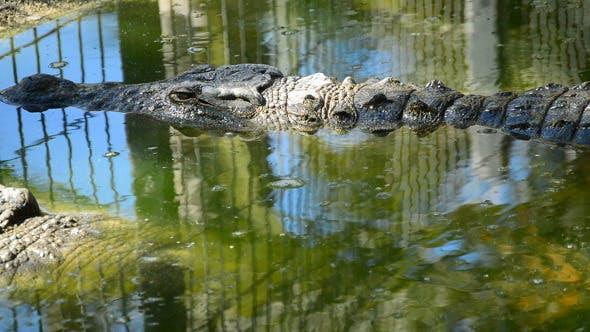 Crocodile in Zoo