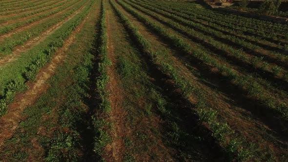 Thumbnail for Myrtillus Plantation