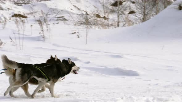 Huskies participate in the races