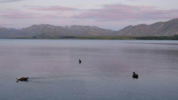 Three mallard ducks swim in the lake