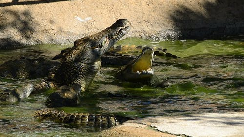 Crocodile Eating in River