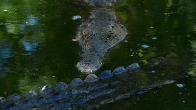 Crocodile in the River