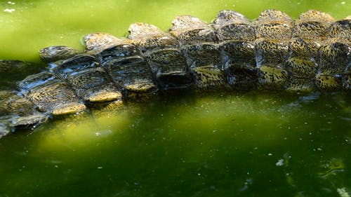 Crocodile Tail in the River