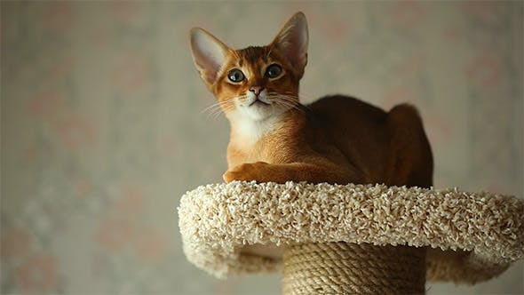Cover Image for Abyssinian Kitten