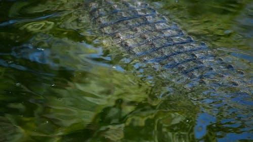 Crocodile Swimming in Nature Park