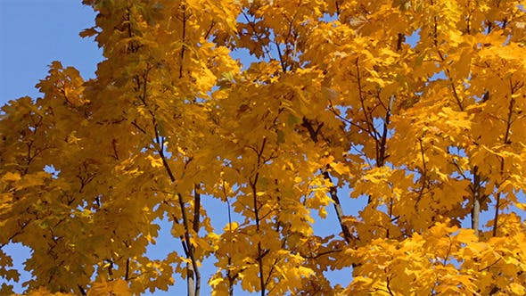 Thumbnail for Fall Tree With Yellow Leaves