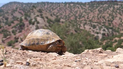 Moroccan tortoise in Morocco