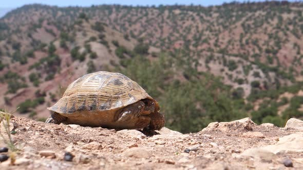Thumbnail for Moroccan tortoise in Morocco