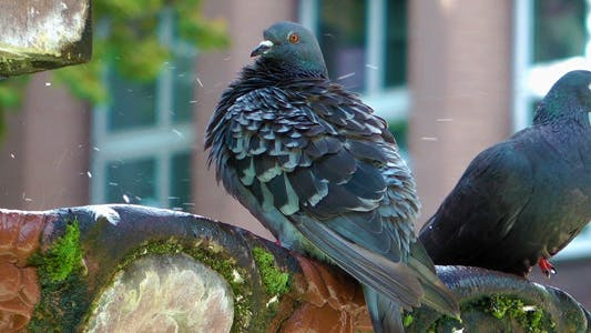Thumbnail for Pigeons Drinking Water From Old Mossy Fountain