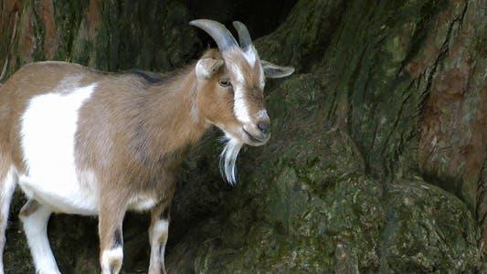 Thumbnail for Goat 3