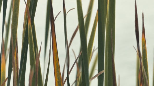 Thumbnail for Softly Swaying Reeds