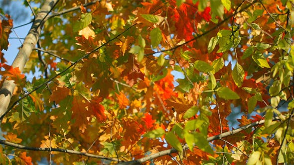 Thumbnail for Colorful Fall Leaves