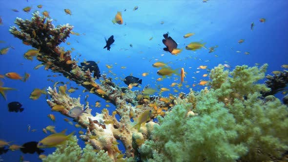 Thumbnail for Underwater Colorful Tropical Fishes