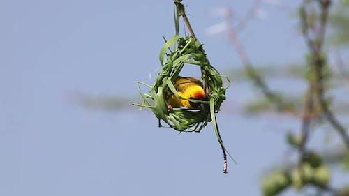 750151 Village Weaver, ploceus cucullatus, Male working on Nest, Bogoria Park in Kenya, Real Time