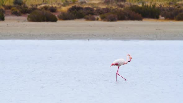 Flamingo Go in Shallow Water Phoenicopterus Ruber Walking Around Shallow Water Wild Greater Flamingo
