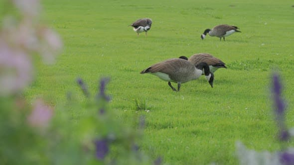 Thumbnail for Gray Geese Eat Grass