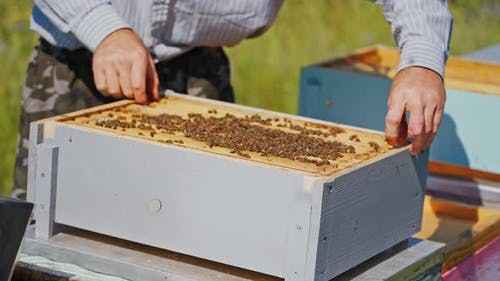 Beekeeper neatly holds the frame with bees