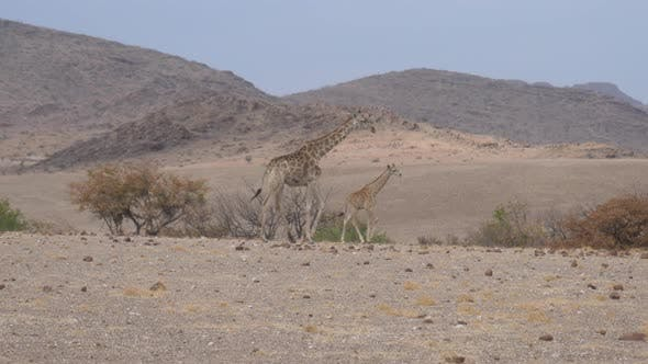 Thumbnail for Mother and Baby Giraffe Walk Away on A Dry Savanna