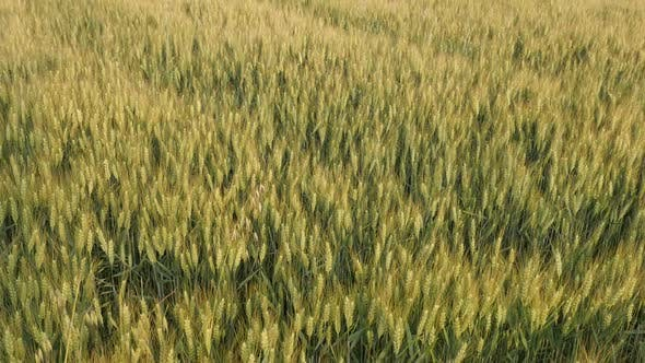 Thumbnail for Common wheat Triticum aestivum slow-mo footage