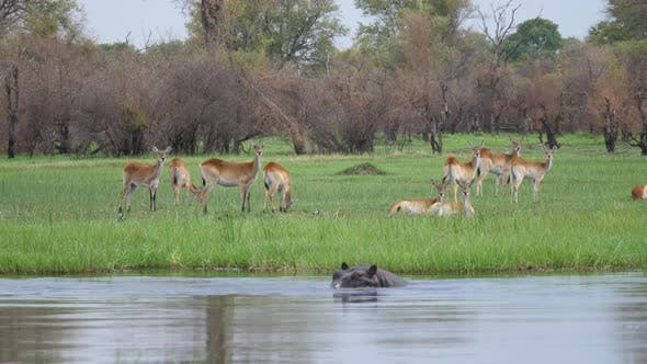 Thumbnail for Hippos in a lake with a herd of impala antelopes in the background