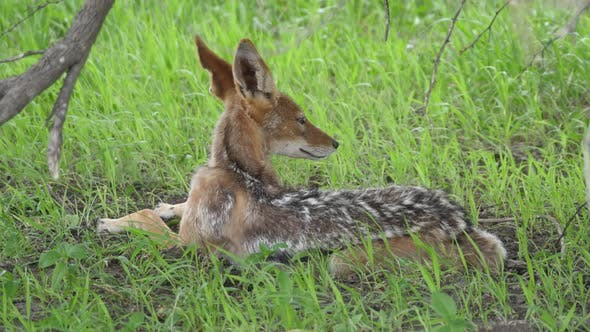 Thumbnail for Black-backed jackal resting under a tree