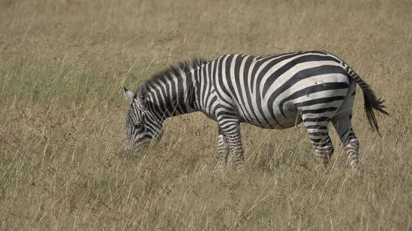 Thumbnail for Zebra grazing