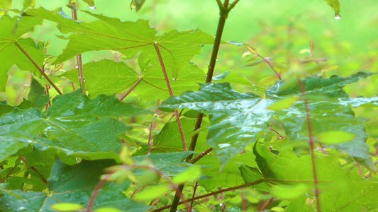 Thumbnail for Raining on Green Leaves