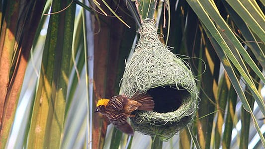 Thumbnail for Baya Weaver (Ploceus philippinus) Nesting