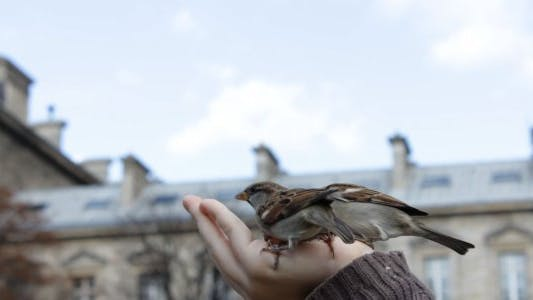 Thumbnail for Feeding Sparrows from Hand - 01
