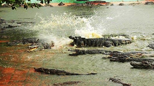 Thumbnail for Crocodiles Life