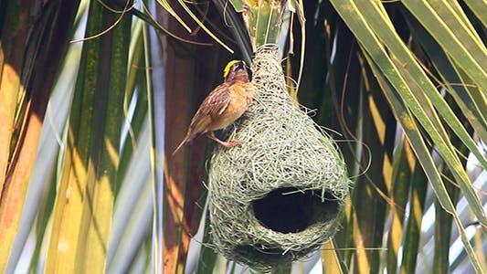 Thumbnail for Baya Weaver (Ploceus philippinus) Nesting 03