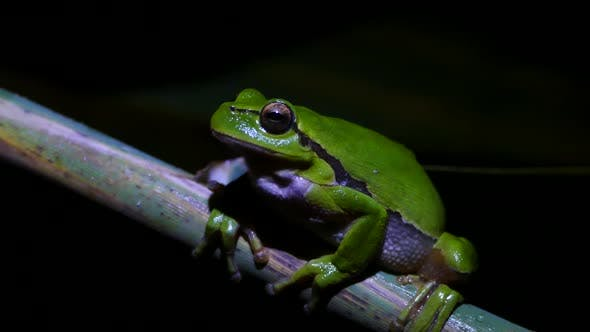Green tree frog sitting on a branch at night