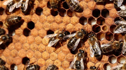 Thumbnail for Bee Larvae