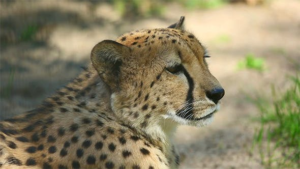 Thumbnail for Cheetah