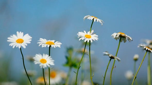 Thumbnail for Daisies On A Meadow