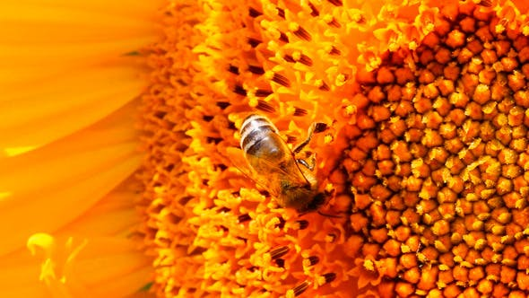 Thumbnail for Bee Pollination On Sunflower
