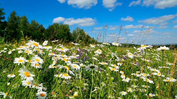 Thumbnail for Daisies On A Meadow Under Sky