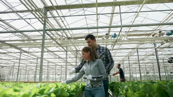Cover Image for Expert in Organic Farming Checking a Crop of Green Salad