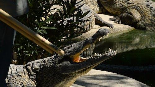 Crocodile in zoo park