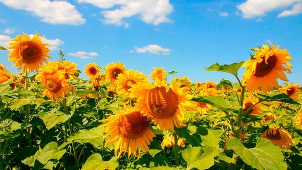 Thumbnail for Blossom Sunflowers