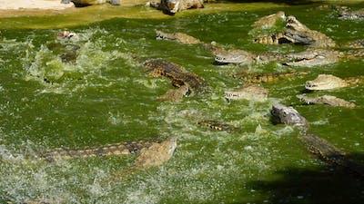 Crocodiles fighting in the river