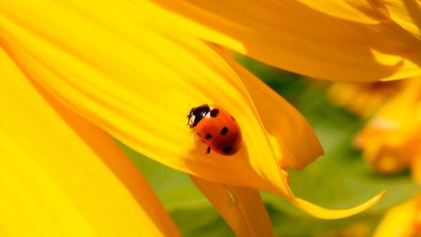 Thumbnail for Ladybug On Sunflower