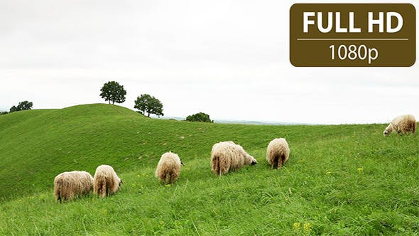 Thumbnail for Group of Sheep Grazing in the Field 15