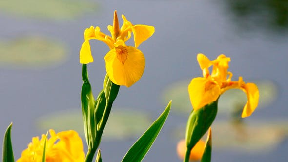Thumbnail for Irises On Lake