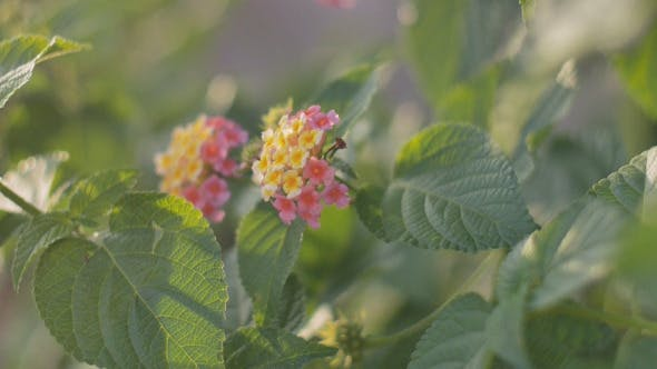 Thumbnail for Lantana Flower